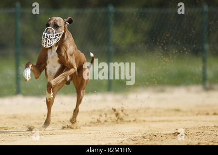 azawakh - african sighthound - Stock Photo
