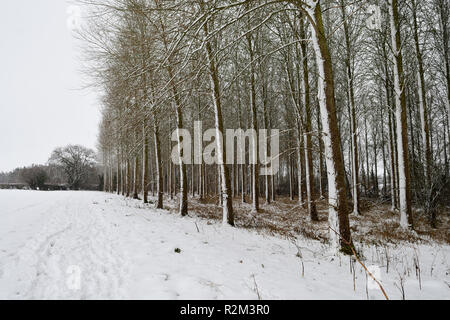 Poplar trees covered in snow on a winters day - Stock Photo