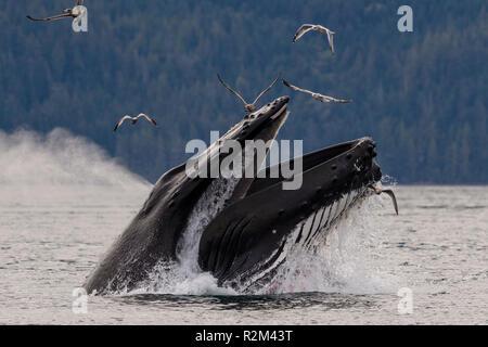 Humpback whale (Megaptera novaeangliae) lunge feeding in Blackfish Sound of Hanson Island near the Broughton Archipelago, First Nations Territory, Bri - Stock Photo