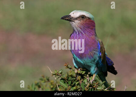 lilac-breasted roller sitting on busch - Stock Photo