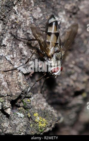 Tachinid Fly, Zelia vertebrata, male - Stock Photo
