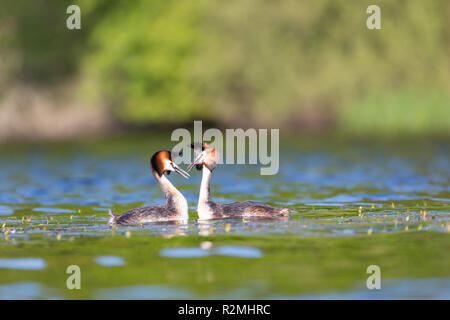 Two Great Crested Grebes courting - Stock Photo