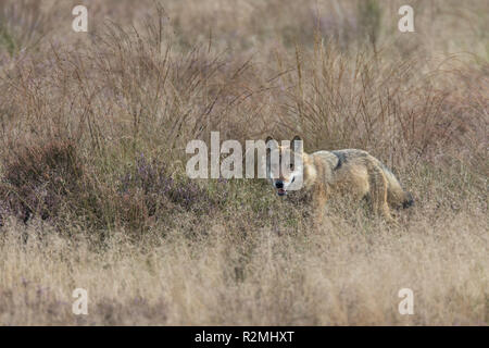 Wolf in the wild, moor grass - Stock Photo