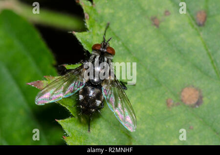 Tachinid Fly, Nemorilla pyste - Stock Photo