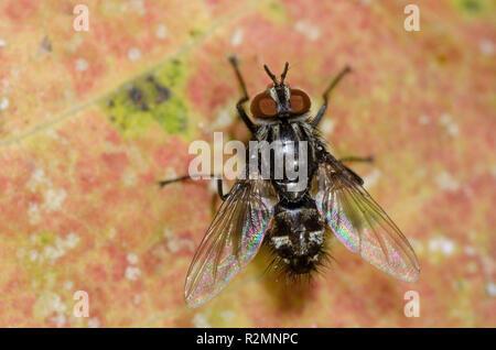 Tachinid Fly, Nemorilla pyste - Stock Photo