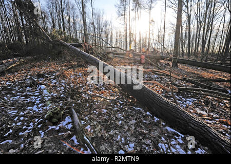 Storm 'Friederike' swept across Saxony at the end of January 2018 in hurricane force and left heavy damage in the forests of Saxony through fallen trees, like here in Colditzer Wald - Stock Photo