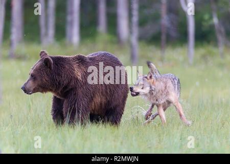Wolf attacks Brown Bear - Stock Photo