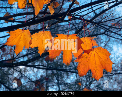 Norway maple Acer platanoides leaves in autumn - Stock Photo