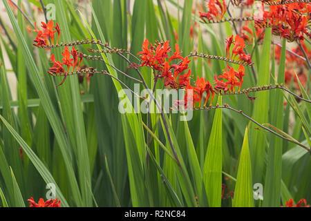 Crocosmia 'Lucifer' flowers - Stock Photo