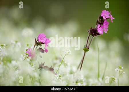 Red campion, Silene, red catchfly - Stock Photo