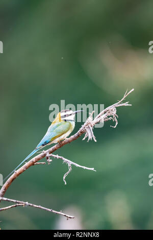Female white-throated bee-eater (Merops albicollis) perched in tree in Kenya - Stock Photo