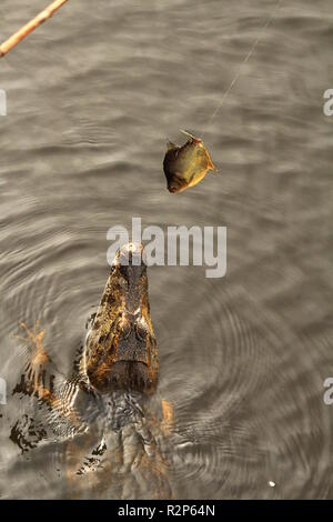 alligator jumps to bite a fish bait at river miranda at Passo do Lontra, Mato Grosso do Sul, Brazil - Stock Photo