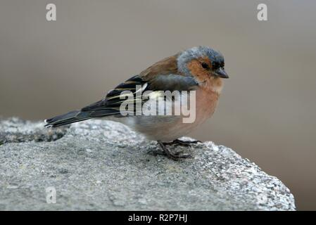 chaffinch - Stock Photo