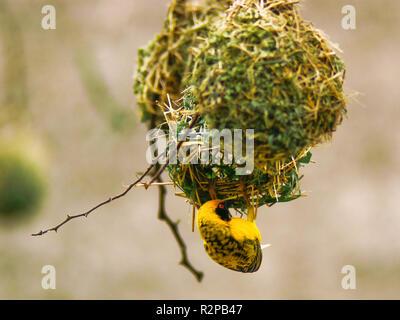 somali weaver (ploceus spekei) - Stock Photo