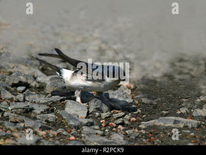 house martin nest material collecting
