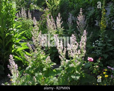clary sage in the summer garden - Stock Photo