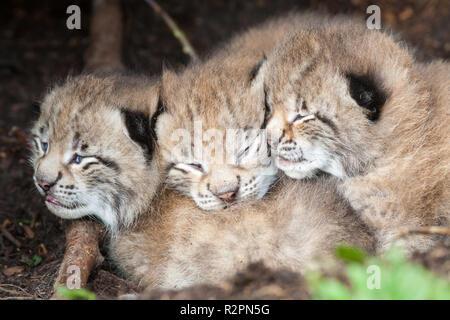 three young lynx - Stock Photo