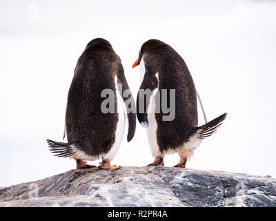 Rear view of pair of Gentoo penguins, Pygoscelis papua, standing on rock, Mikkelsen Harbour, Trinity Island, Antarctic Peninsula, Antarctica - Stock Photo