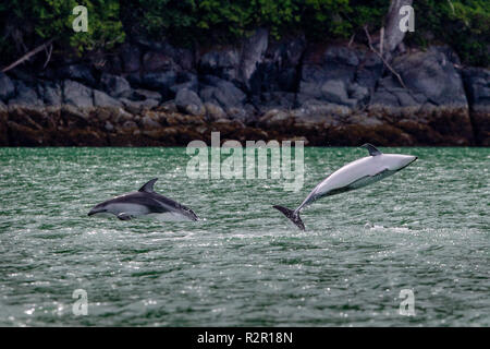 2 pacific white sided dolphins jumping close to shore in Knight Inlet, First Nations Territory, British Columbia, Canada