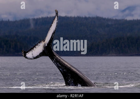 Humpback whale tail slapping near the Broughton Archipelago, Great Bear Rainforest, First Nations Territory, British Columbia, Canada - Stock Photo