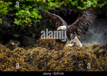 Adult bald eagle (Haliaeetus leucocephalus) with spread wings and a freshly caught seagull in its talons on seaweed during low tide in the Broughton Archipelago, First Nations Territory, British Columbia, Canada - Stock Photo