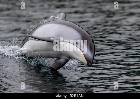 Pacific white-sided dolphin (Lagenorhynchus obliquidens) jumping in the Broughton Archipelago, First Nations Territory, British Columbia, Canada