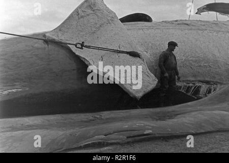 The crew of a factory vessel of the German whalung fletis working on the several fat layers of a hunted down whale, 1930s. - Stock Photo