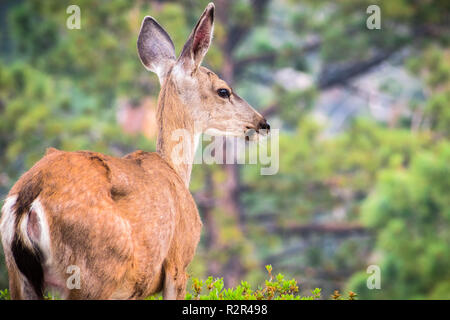 Close up of young black-tailed deer, Yosemite National Park, California - Stock Photo