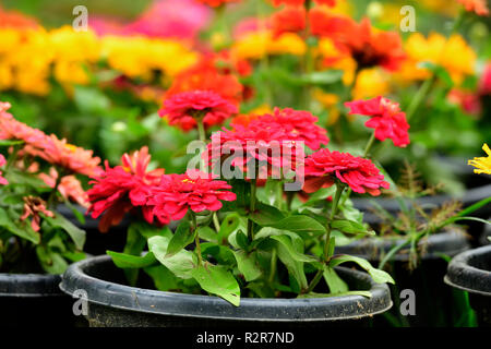 flowers seen grown in pots at flower show at munnar kerala. with selective focus on the subject. - Stock Photo