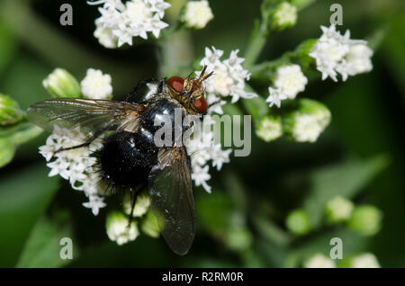 Tachinid Fly, Archytas sp., on white snakeroot, Ageratina altissima - Stock Photo