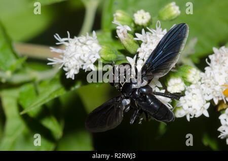 Tachinid Fly, Trichopoda lanipes, on white snakeroot, Ageratina altissima - Stock Photo