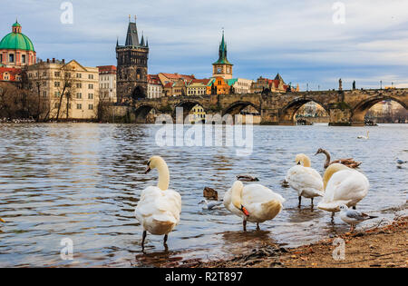 Famous Charles bridge and swans on Vltava river in Prague, Czech Republic - Stock Photo