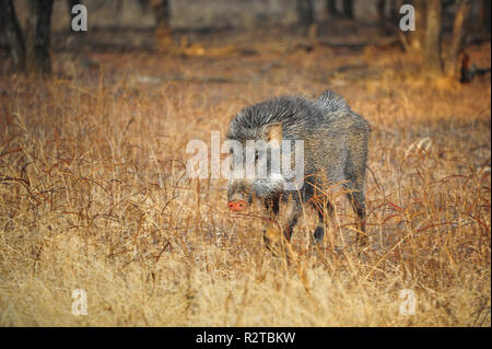 Indian Wild Boar (Sus scrofa cristatus) foraging at the edge of the forest, Ranthambore National Park, India. Sunlight illuminates nature landscape - Stock Photo