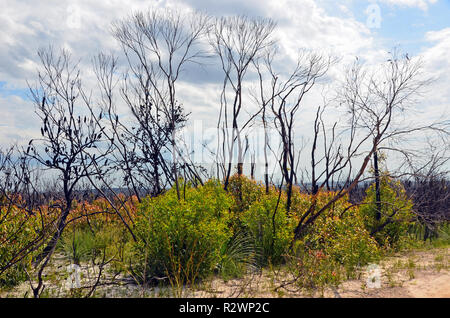 New growth of blackened Eucalyptus, Casuarina and Banksia trees following a bushfire in heath and woodland near Wattamolla in the Royal National Park, - Stock Photo