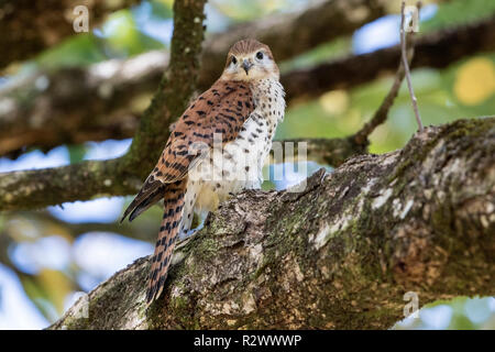 Mauritius kestrel Falco punctatus perched on branch of tree, Mauritius - Stock Photo