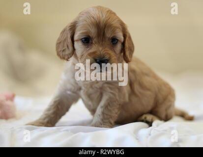 Cockapoo Puppy - Stock Photo