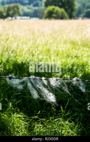 Wool from sheep caught on barbed wire, blowing in the breeze of a Summer day, Derbyshire, England, UK - Stock Photo