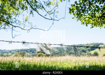 Sheep's wool. Wool from a sheep caught a on barbed wire fence, Derbyshire, England, UK - Stock Photo