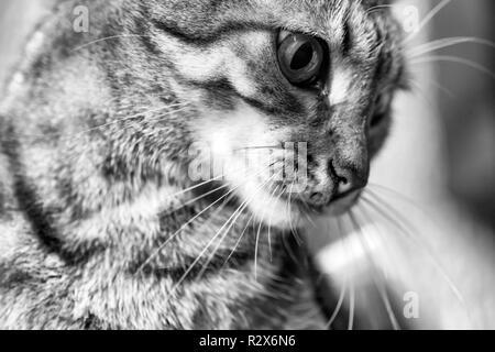 The rare Egyptian Mau cat - Stock Photo