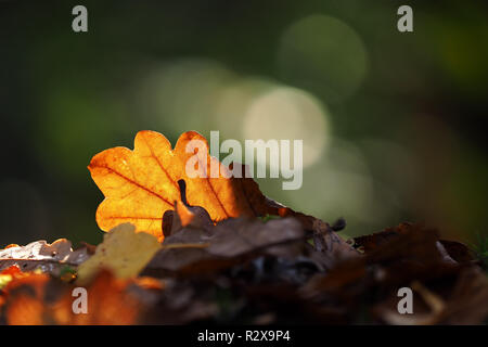 Backlit Oak leaf in autumn colour showing the vein structure. Tipperary, Ireland - Stock Photo