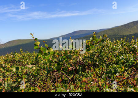 Dwarf shrubs and rhododendrons are the basis of Taiga. Vegetation of Taiga against the background of the Ural Mountains. Plants, mosses and grasses of the Northern Urals. - Stock Photo