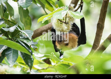 Seychelles flying fox Pteropus seychellensis adult feeding on flower, Mahe, Seychelles, Indian Ocean - Stock Photo