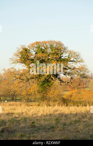 An oak tree, Quercus robur,  in November covered in ivy, hedera helix, close to the Dorset Stour river. North Dorset England UK GB - Stock Photo