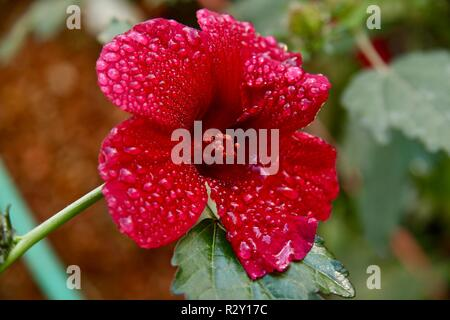 A hibiscus flower covered in raindrops after a morning shower, used to make rosa jamaica or flor de rosa a drink popular in Central America - Stock Photo