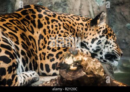 Leopard sleeping on the rocks under the sunlight - Stock Photo