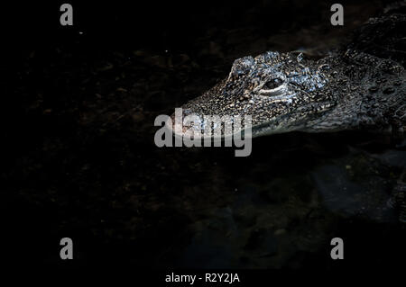 Crocodile close up floating on water surface - Stock Photo