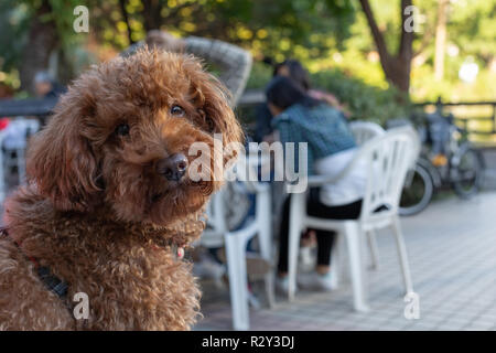 Portrait of brown poodle in an outdoor cafe looking straight into the camera - Stock Photo