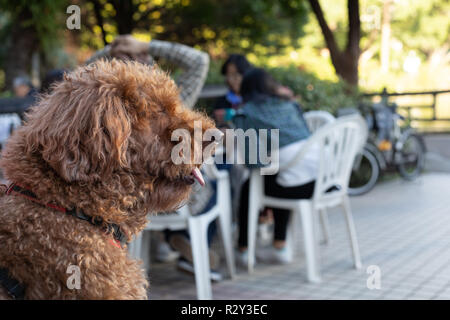 Portrait of brown poodle in an outdoor cafe - Stock Photo