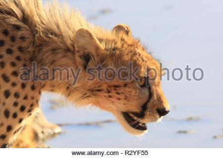 cheetah in the kgalagadi national park - Stock Photo