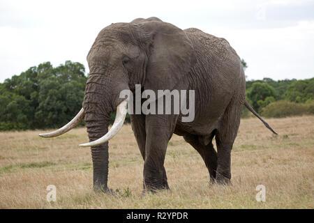 Single large African bull elephant Loxodonta africana Lewa Wildlife Conservancy Kenya - Stock Photo